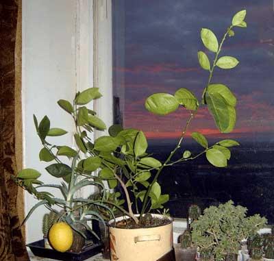 Лимон плодоносящий 2,5 тыс. руб.